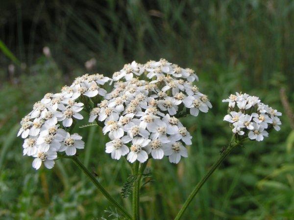 Achillea_millefolium_bloem