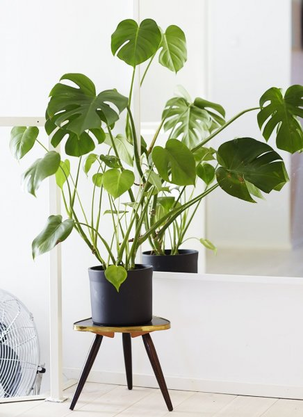 Split-Leaf-Philodendron